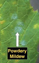 White Powdery Mildew