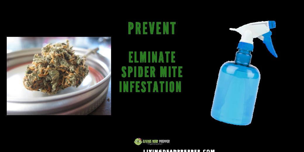 Spider Mites on Buds
